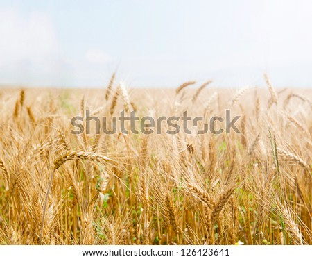 Golden wheat field against light clear sky. Copyspace at the top.