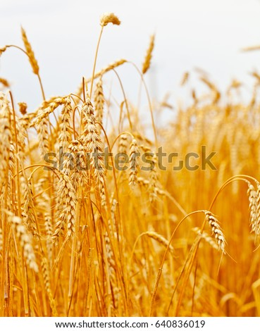 Golden wheat field and blue sky