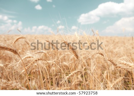 golden wheat field and blue sky background - stock photo