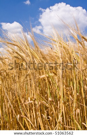 golden wheat field and blue sky landscape - stock photo