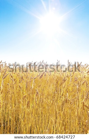 Golden wheat field and blue sky on a sunny day - stock photo