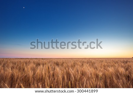 Golden wheat field and blue sky on sunset - stock photo