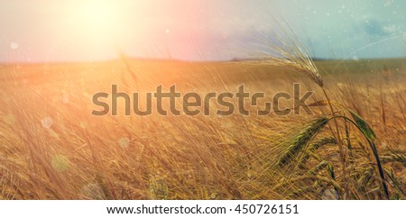 golden wheat field and sunny day. Ears of wheat or rye close up, on the field. illuminated by sunlight. The idea of the concept of harvest. majestic rural landscape. creative image. soft light effect - stock photo