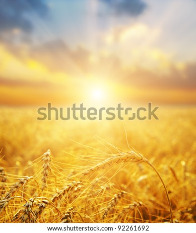 golden wheat field and sunset. soft focus on bottom of picture