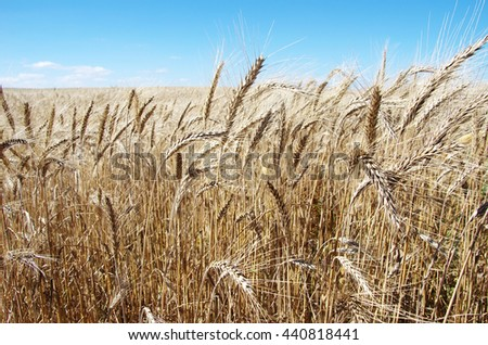 golden wheat field at Portugal - stock photo
