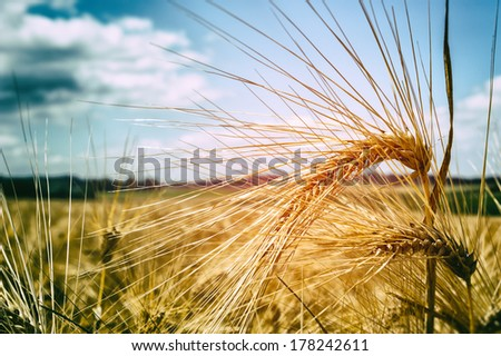 Golden wheat field at sunny summer day  - stock photo