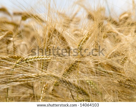 Golden wheat field at the end of Spring