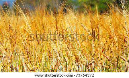 Golden wheat field  background. - stock photo