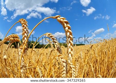 Golden wheat field close up - stock photo