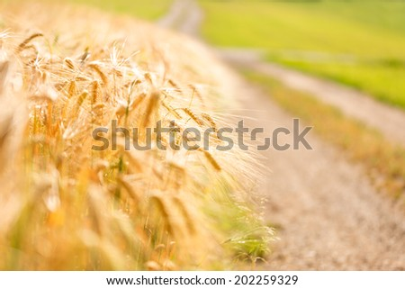 Golden wheat field edge with country road. Shallow dof. - stock photo