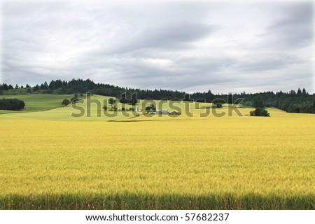 Golden wheat field in Oregon's Willamette valley with vineyard on green hillside in background - stock photo