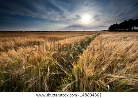 golden wheat field in summer before sunset, Friesland, Netherlands - stock photo