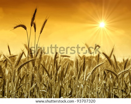 Golden wheat field in summer with sun and gold sky. - stock photo