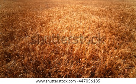 Golden wheat field. Meadow wheat field close up. Rich harvest Concept. Rye wallpaper - stock photo