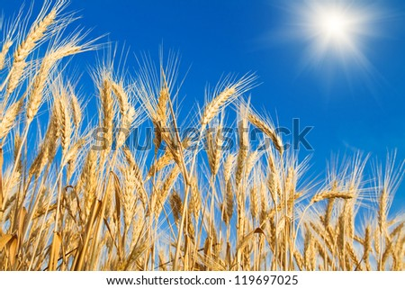 Golden wheat field on blue sky - stock photo