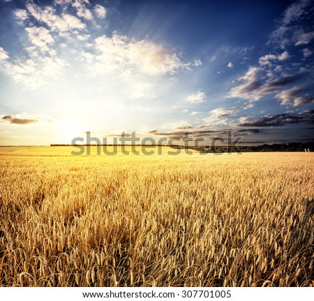 Golden wheat field under a setting sun - stock photo