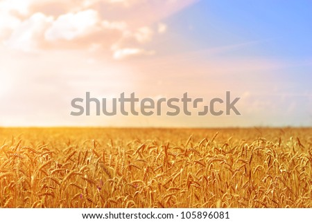 Golden wheat field under cloudy blue sky - stock photo