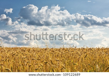 Golden wheat field with blue sky and clouds in background