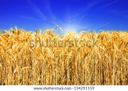 Golden wheat field with blue sky and sunlight - stock photo