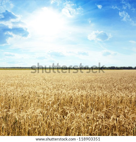 Golden wheat field with blue sky in background