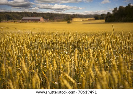 Golden wheat field with farmhouse in the background - stock photo