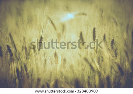 Golden wheat field with selective focus and vintage tone.
