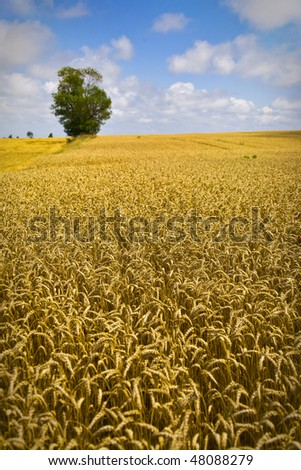 Golden Wheat Field With Tree and Clouds - stock photo