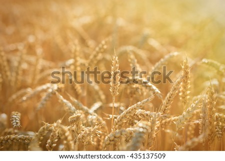 Golden wheat fields - rich harvest - stock photo
