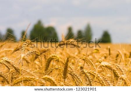 Golden wheat growing in a farm field, closeup on ears - stock photo