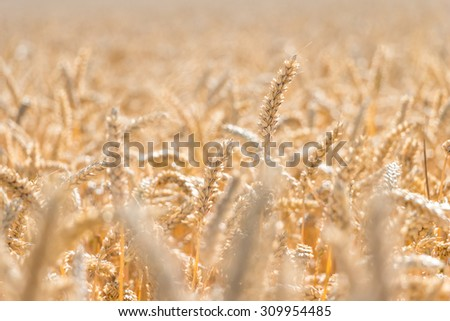Golden wheat harvest season. agriculture themes - stock photo