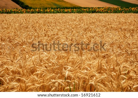 Golden wheat on a background of the cloudy blue sky and sunflowers