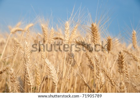 Golden wheat on a grain field - stock photo