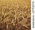 Golden wheat ready for harvest growing in a farm field 5 - stock photo