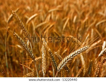 Golden wheat ready for harvest growing in a farm field