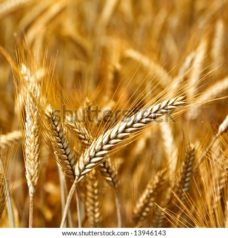 Golden wheat ready for harvest growing in a farm field 6 - stock photo