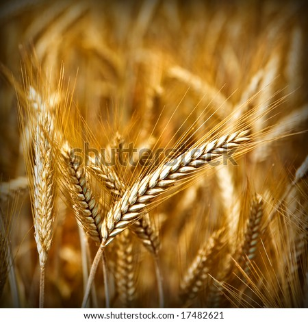 Golden wheat ready for harvest growing in a farm field 7 - stock photo