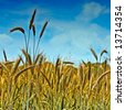 Golden wheat ready for harvest growing in a farm field under blue sky 5 - stock photo