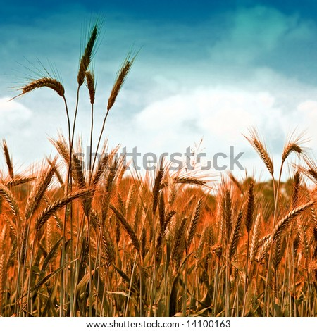 Golden wheat ready for harvest growing in a farm field under blue sky 6 - stock photo