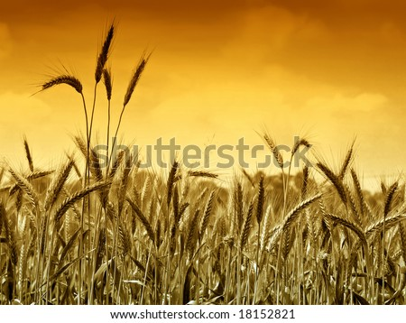 Golden wheat ready for harvest growing in a farm field under sky - stock photo