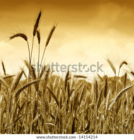 Golden wheat ready for harvest growing in a farm field under sky 7. Gold version - stock photo