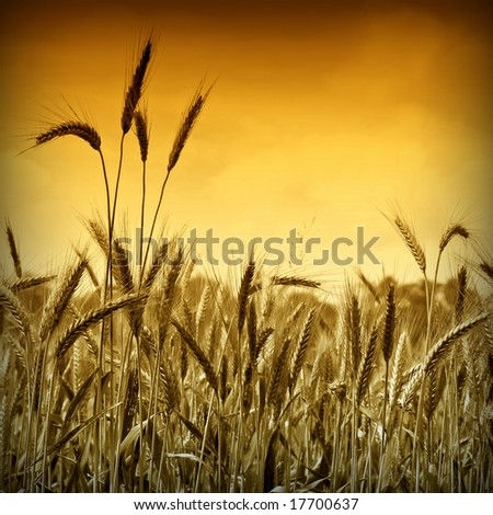 Golden wheat ready for harvest growing in a farm field under sky 7. Gold version 4