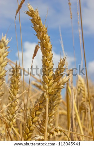 Golden wheat, ready for harvesting, shown against a blue sky