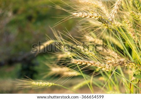 Golden wheat rice field with blur green background - stock photo