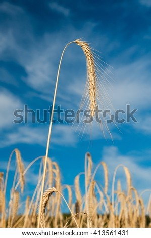 Golden wheat spike against blue sky and white clouds in background. Vertical photo - stock photo