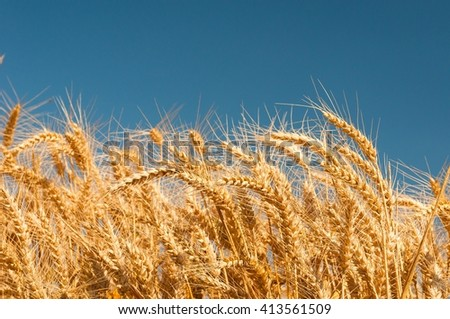 Golden wheat spikes with blue sky in background - stock photo