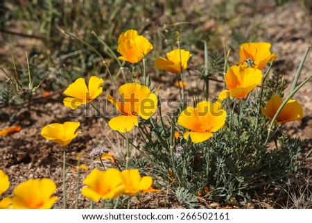 Golden yellow Arizona native wildflower on sunny day in Spring/Wild Mexican Gold Poppy in Desert during Spring Season/Wildflower in bloom, Mexican Gold Poppy, in springtime semi-desert - stock photo