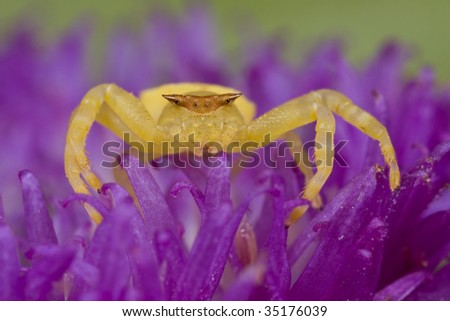 Golden/yellow crab spider on purple wildflower, porcupine flower - stock photo