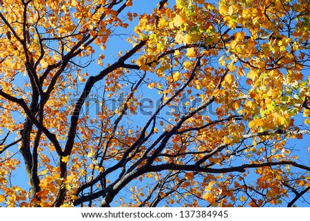 Golden Yellow Fall Foliage colors of Maple tree in Autumn