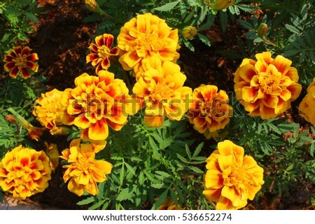Golden yellow flowers leaves little bit stock photo royalty free golden yellow flowers leaves a little bit lively a the winter marigold name that mightylinksfo