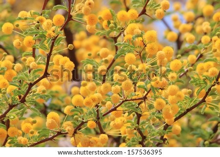 Golden Yellow Flowers - Wild Flower Background from Africa - Spring Season and Beauty from Mother Nature in her Garden of Blossoms.  Camel Thorn Tree. - stock photo